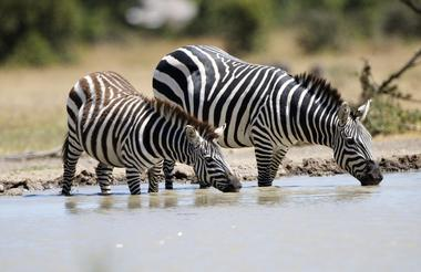Planning-a-Vacation-to-Africa--ol-pejeta-conservancy-zebra